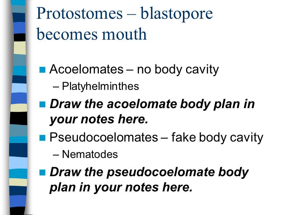 Protostomes – blastopore becomes mouth