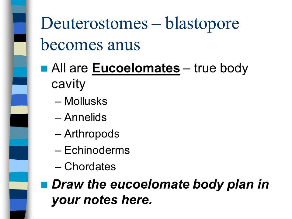 Deuterostomes – blastopore becomes anus