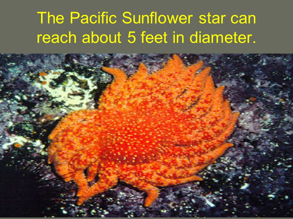 The Pacific Sunflower star can reach about 5 feet in diameter.