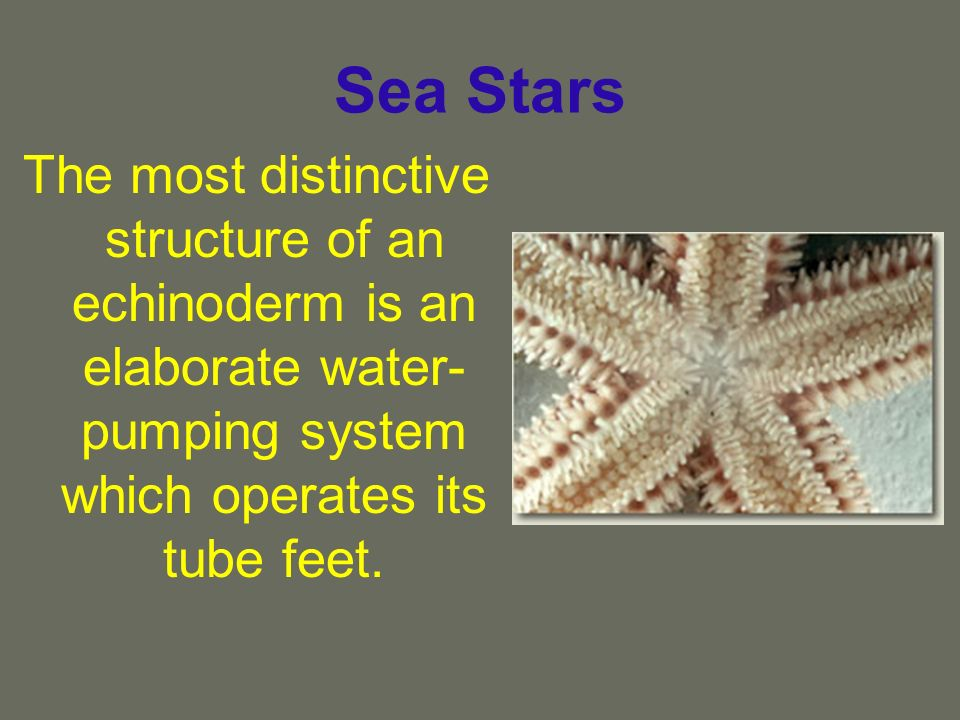 Sea Stars The most distinctive structure of an echinoderm is an elaborate water-pumping system which operates its tube feet.