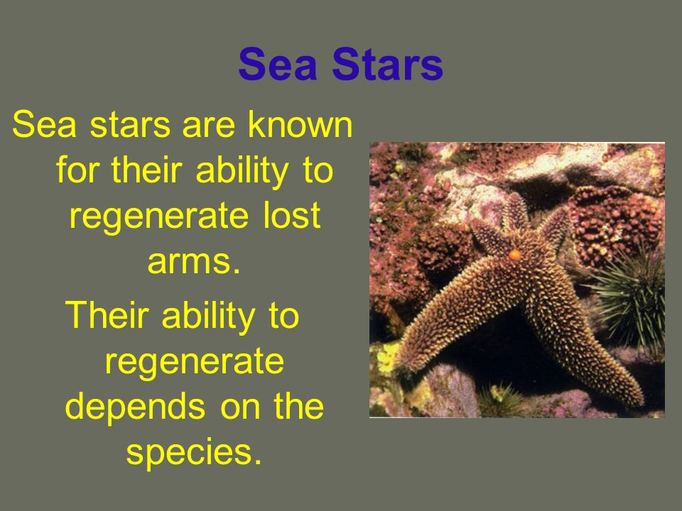Sea Stars Sea stars are known for their ability to regenerate lost arms.
