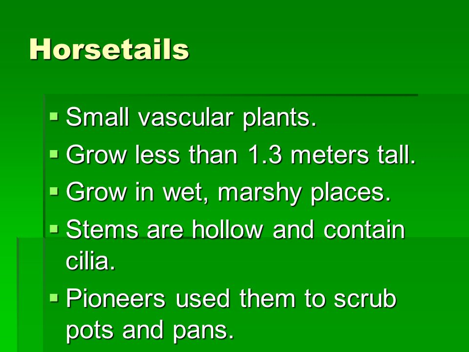 Horsetails Small vascular plants. Grow less than 1.3 meters tall.