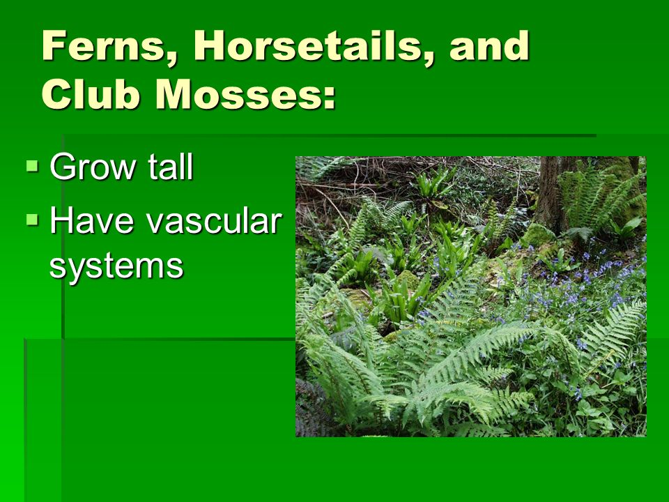 Ferns, Horsetails, and Club Mosses: