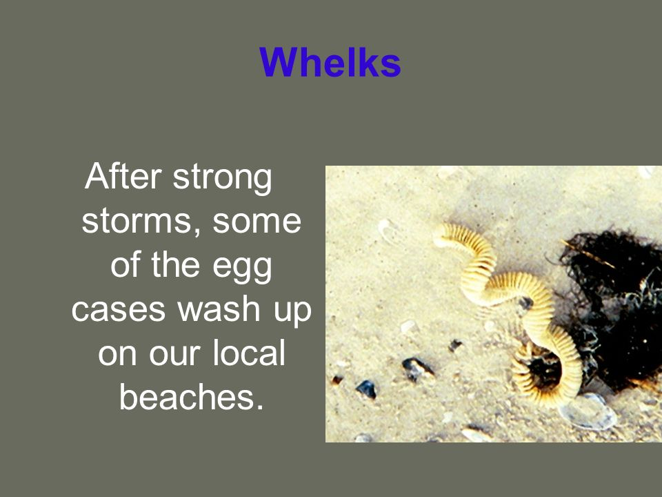 Whelks After strong storms, some of the egg cases wash up on our local beaches.