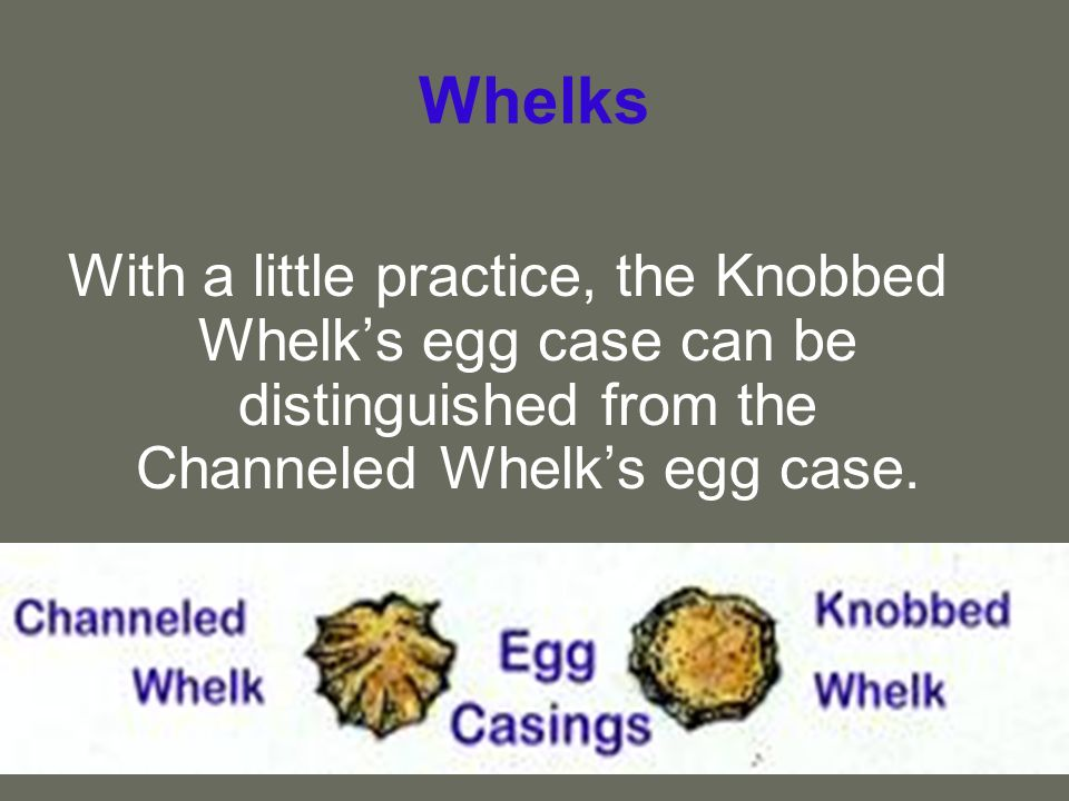 Whelks With a little practice, the Knobbed Whelk's egg case can be distinguished from the Channeled Whelk's egg case.