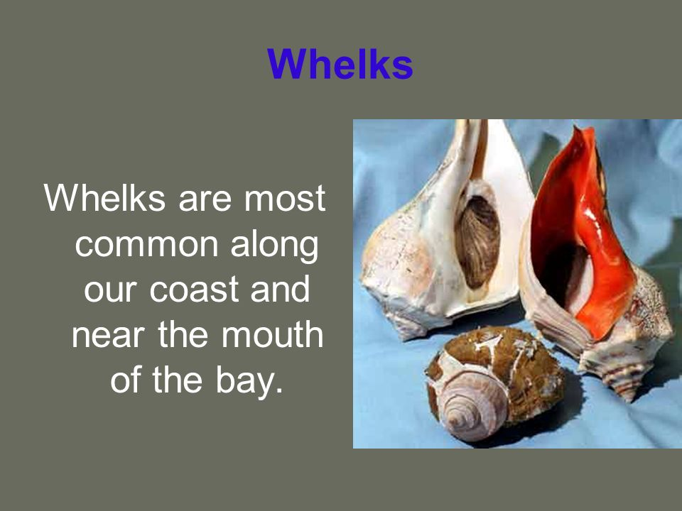 Whelks are most common along our coast and near the mouth of the bay.