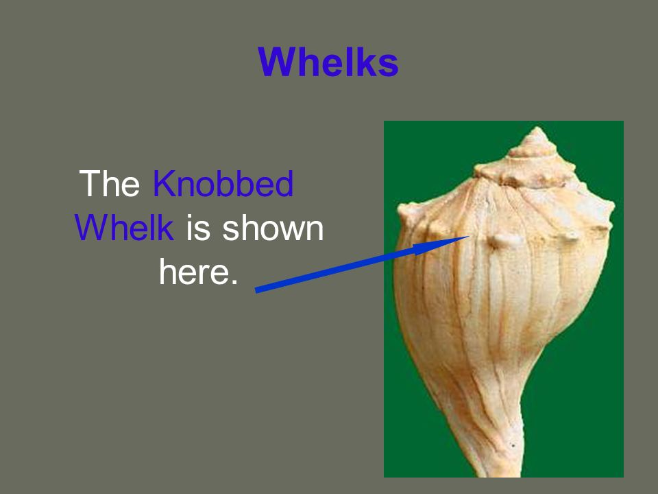 The Knobbed Whelk is shown here.