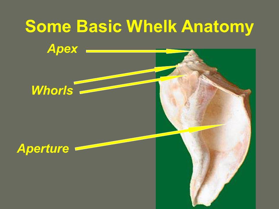 Some Basic Whelk Anatomy
