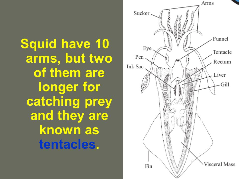 Squid have 10 arms, but two of them are longer for catching prey and they are known as tentacles.
