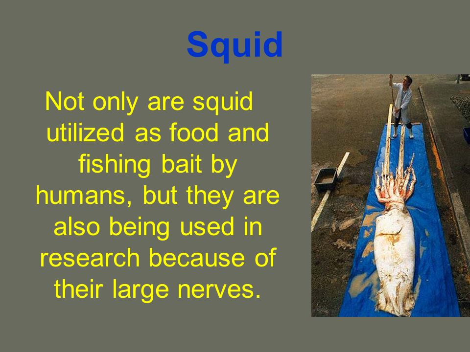 Squid Not only are squid utilized as food and fishing bait by humans, but they are also being used in research because of their large nerves.