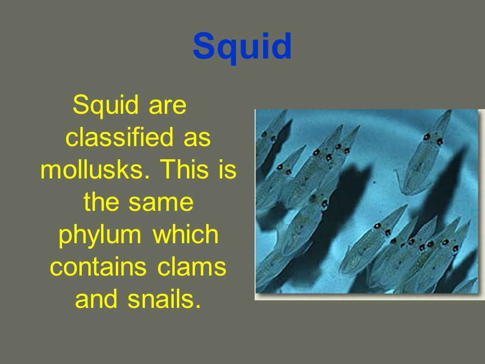 Squid Squid are classified as mollusks. This is the same phylum which contains clams and snails.