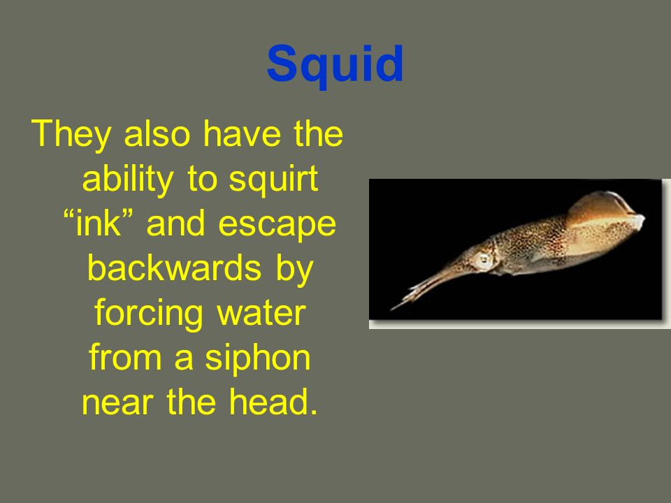 Squid They also have the ability to squirt ink and escape backwards by forcing water from a siphon near the head.