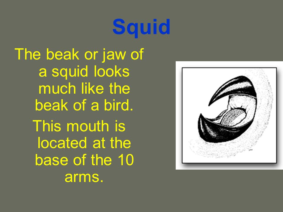 Squid The beak or jaw of a squid looks much like the beak of a bird.