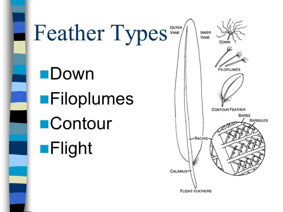 Feather Types Down Filoplumes Contour Flight