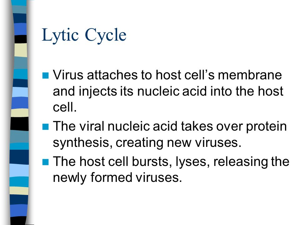 Lytic CycleVirus attaches to host cell's membrane and injects its nucleic acid into the host cell.