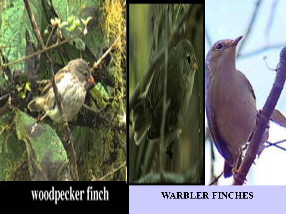 WARBLER FINCHES