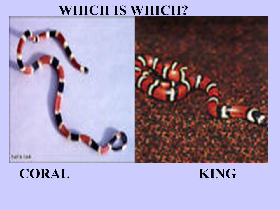 WHICH IS WHICH CORAL KING