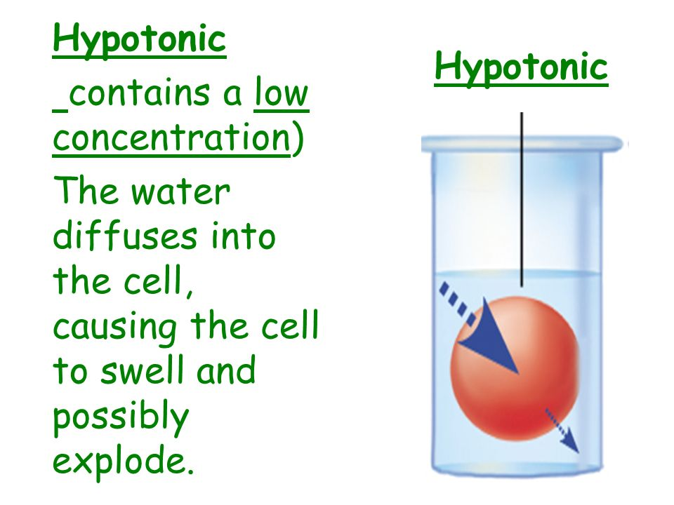 Hypotonic contains a low concentration) The water diffuses into the cell, causing the cell to swell and possibly explode.