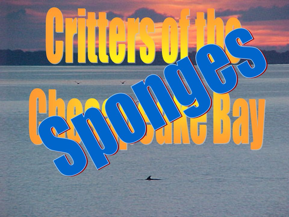 Critters of the Chesapeake Bay Sponges