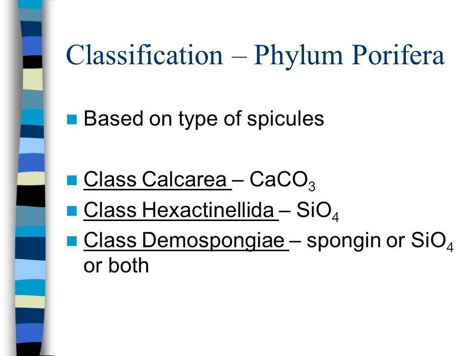 Classification – Phylum Porifera