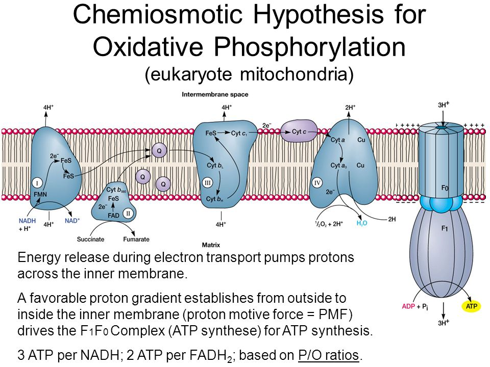 succinate dehydrogenase enzyme in inner mitochondrial membrane biology essay Start studying biology unit 2 learn which passes electrons to an enzyme that catalyzes the reduction of on the inner mitochondrial membrane c).