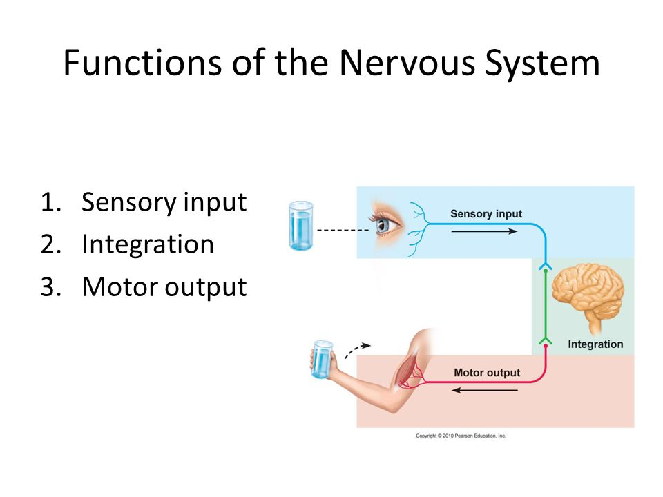 sensory motor and integrative systems From sensory systems to motor circuits  pathway couples a broad array of brain  neuropils to a large integrative region between wing and leg.