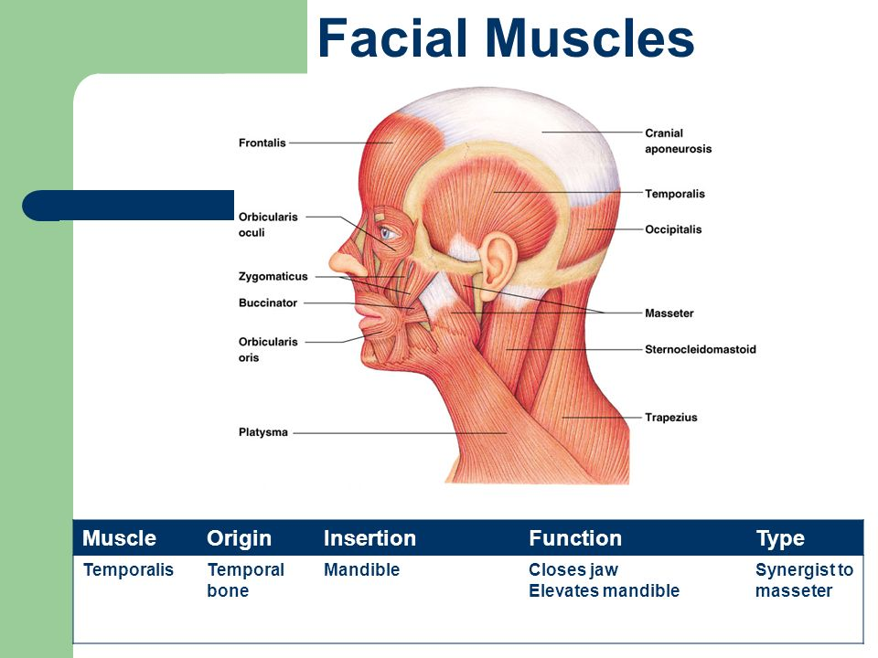 The Muscular System Types of Muscles - ppt video online ...