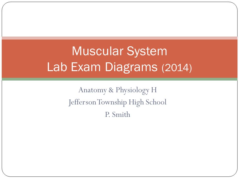 Muscular System Lab Exam Diagrams (2014) - ppt video online download