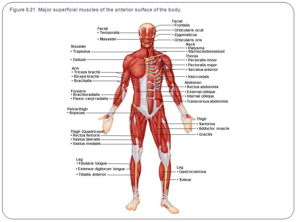 Pelvis Thigh Muscle Diagram New Era Of Wiring Diagram