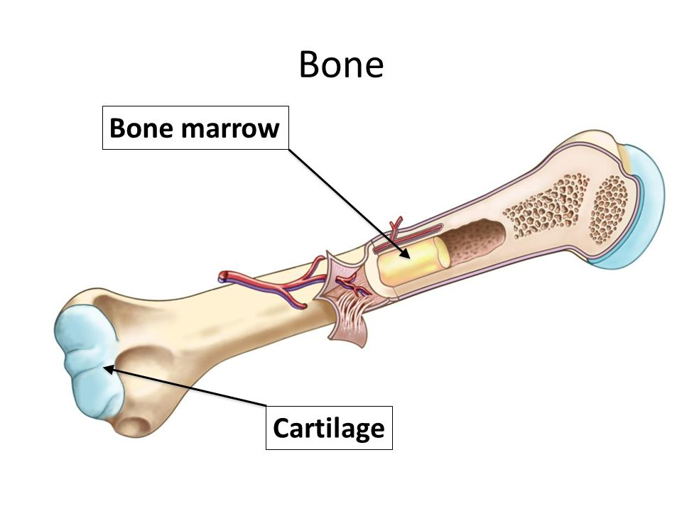 Bone Bone marrow Cartilage