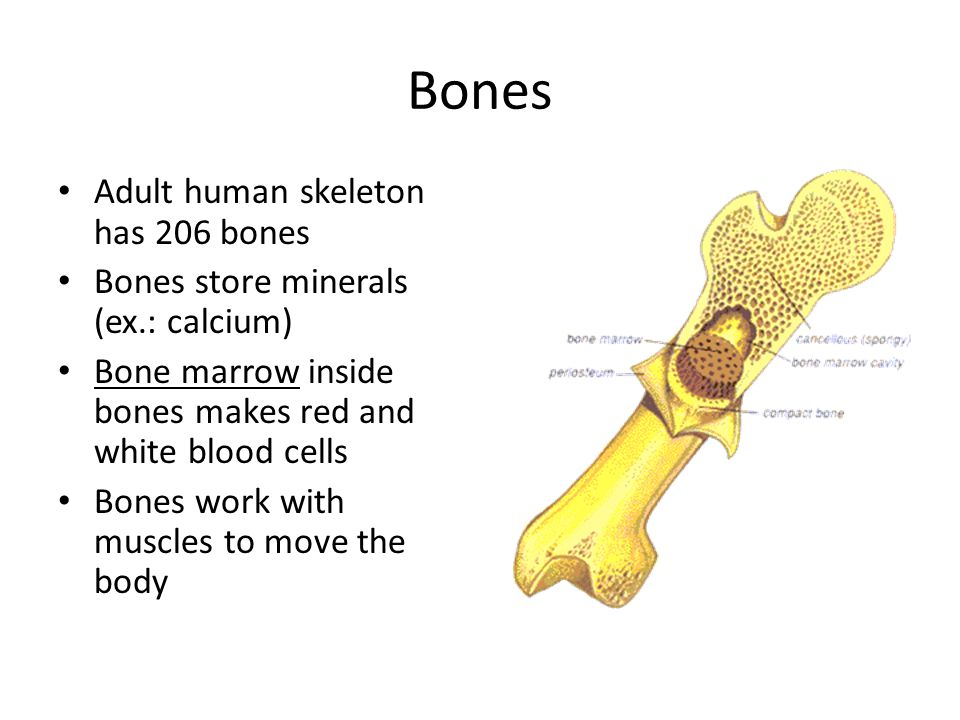 Bones Adult human skeleton has 206 bones