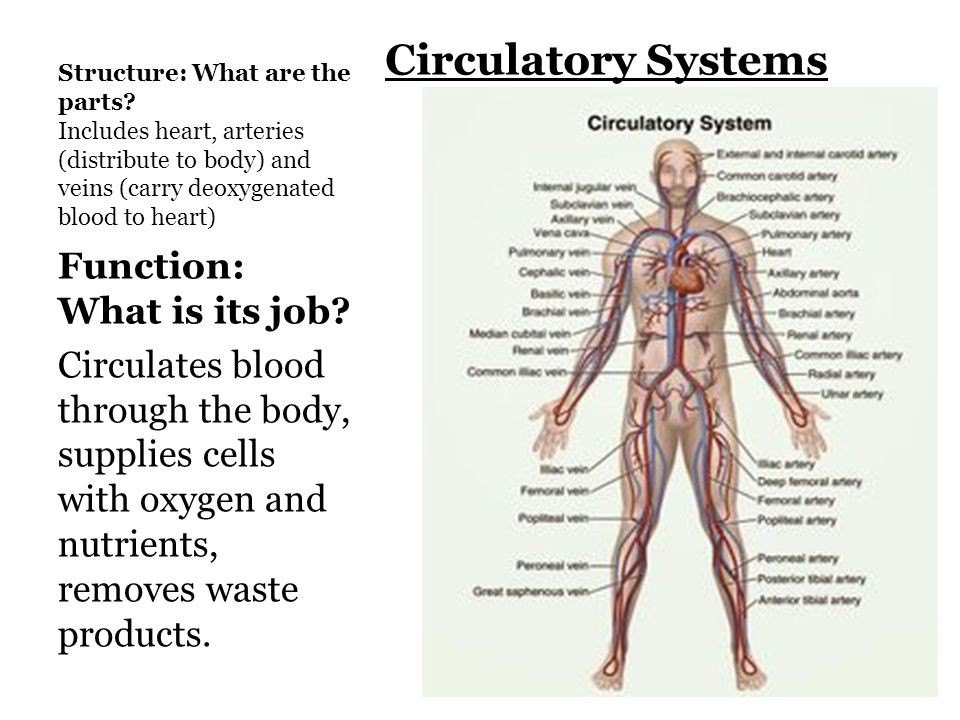 human body systems 7.12 b identify the main functions of the, Human Body