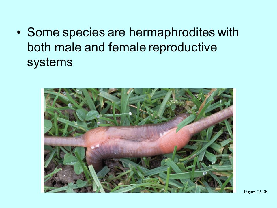 Some species are hermaphrodites with both male and female reproductive systems