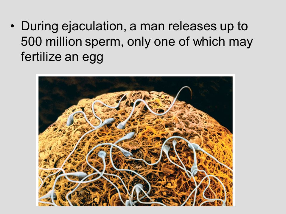 During ejaculation, a man releases up to 500 million sperm, only one of which may fertilize an egg