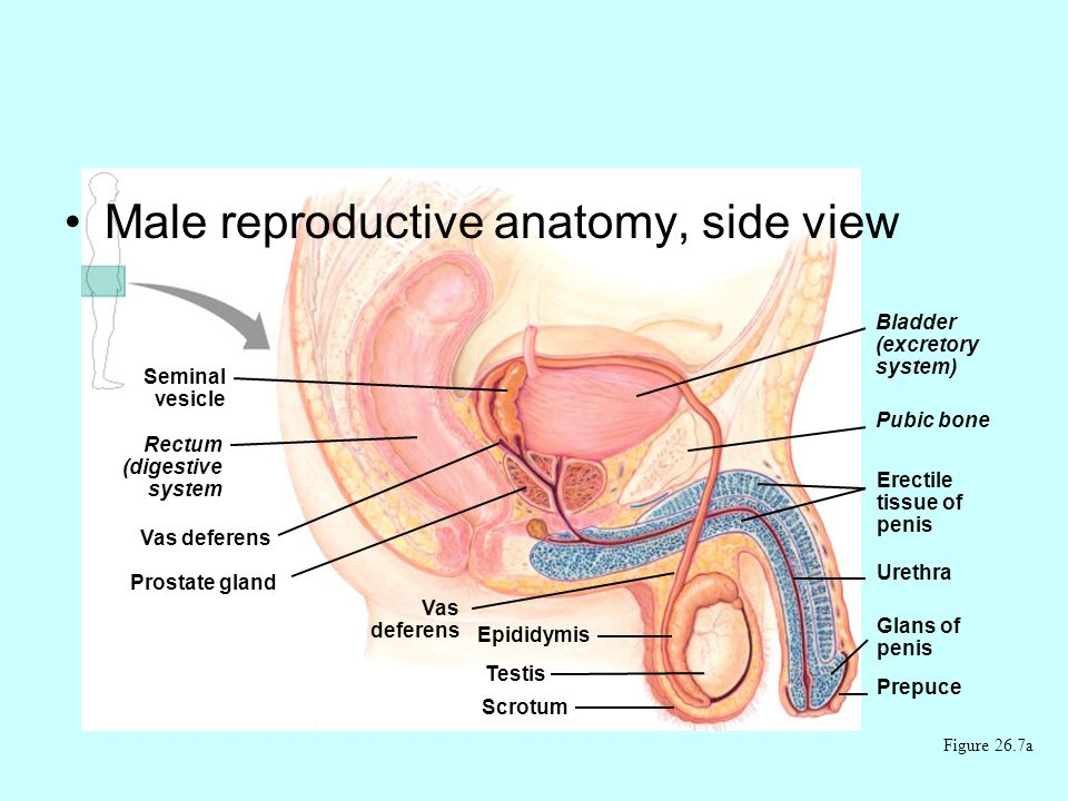 Male reproductive anatomy, side view