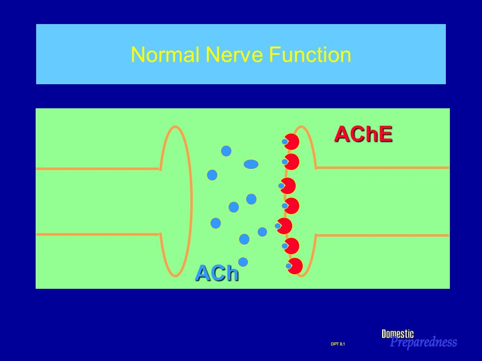 Normal Nerve Function AChE ACh