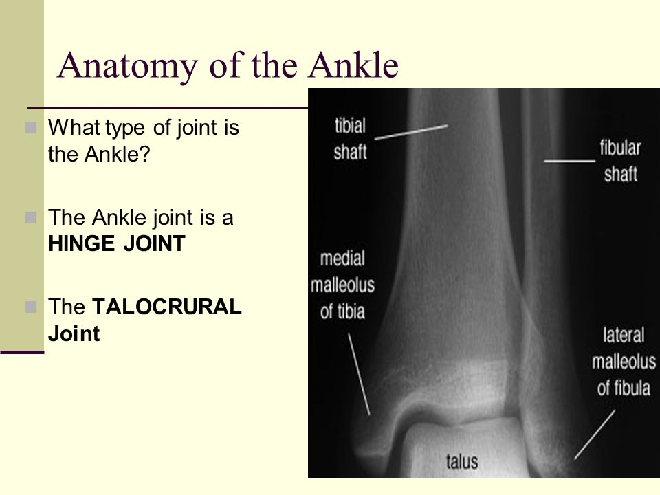 Anatomy of the Ankle What type of joint is the Ankle