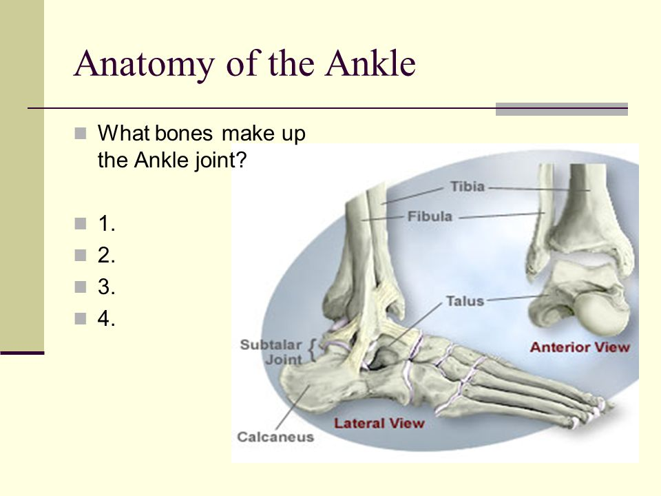 Anatomy of the Ankle What bones make up the Ankle joint 1. 2. 3. 4.