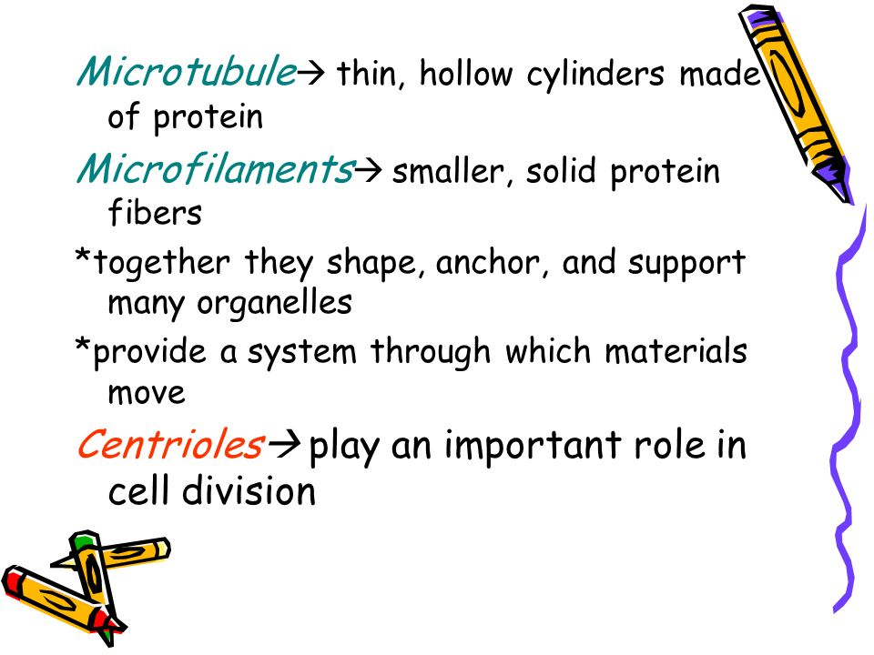 Microtubule thin, hollow cylinders made of protein