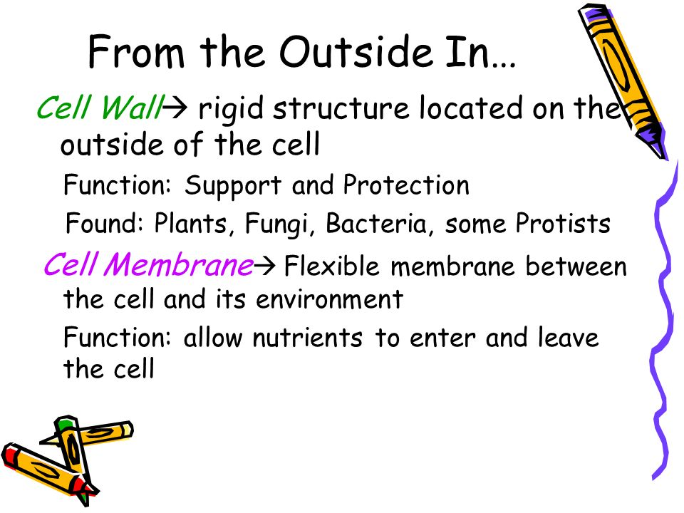 From the Outside In… Cell Wall rigid structure located on the outside of the cell. Function: Support and Protection.