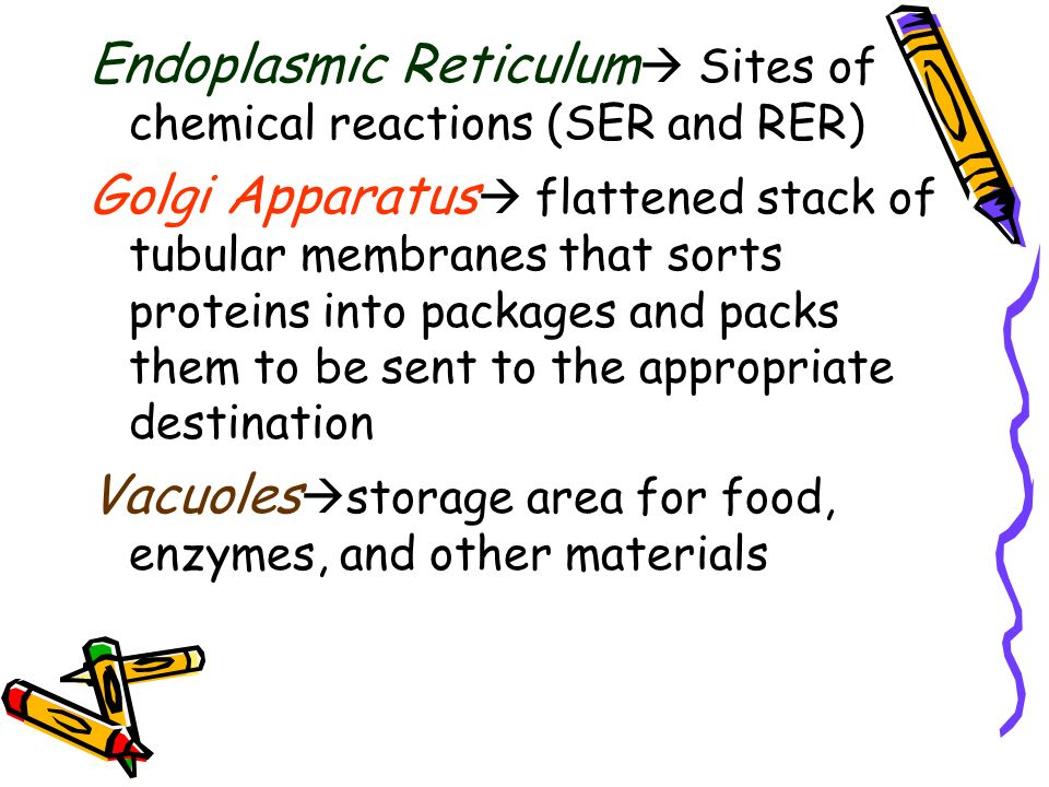 Endoplasmic Reticulum Sites of chemical reactions (SER and RER)