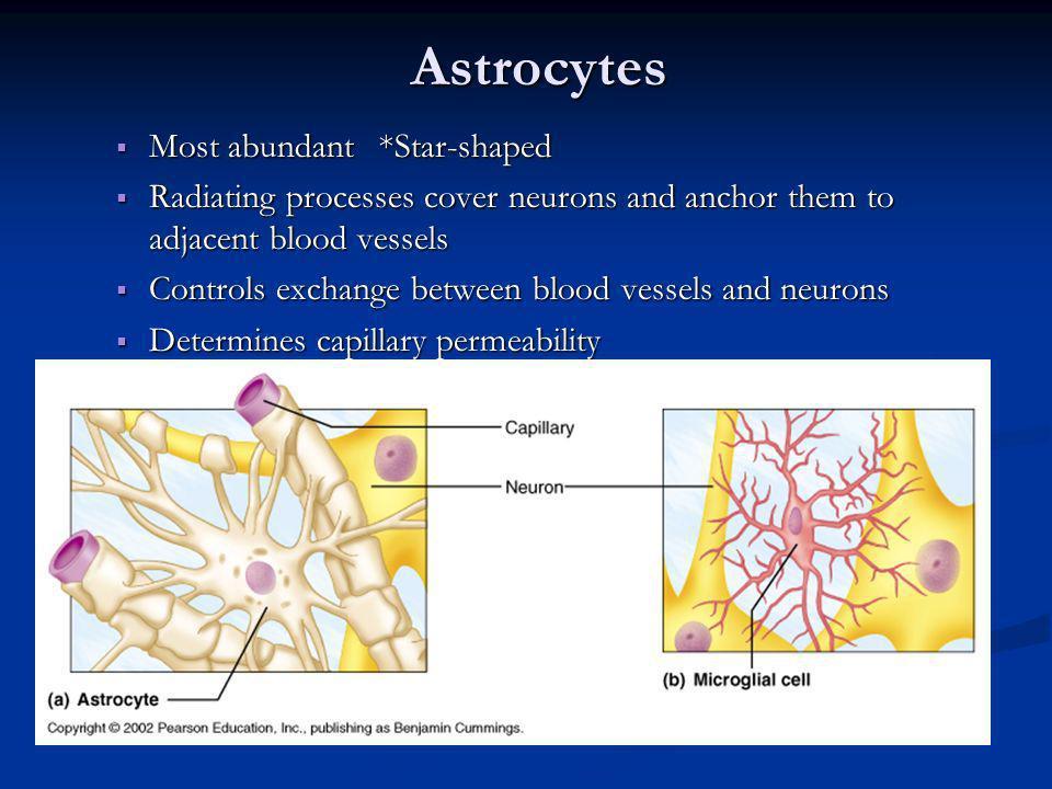 Astrocytes Most abundant *Star-shaped