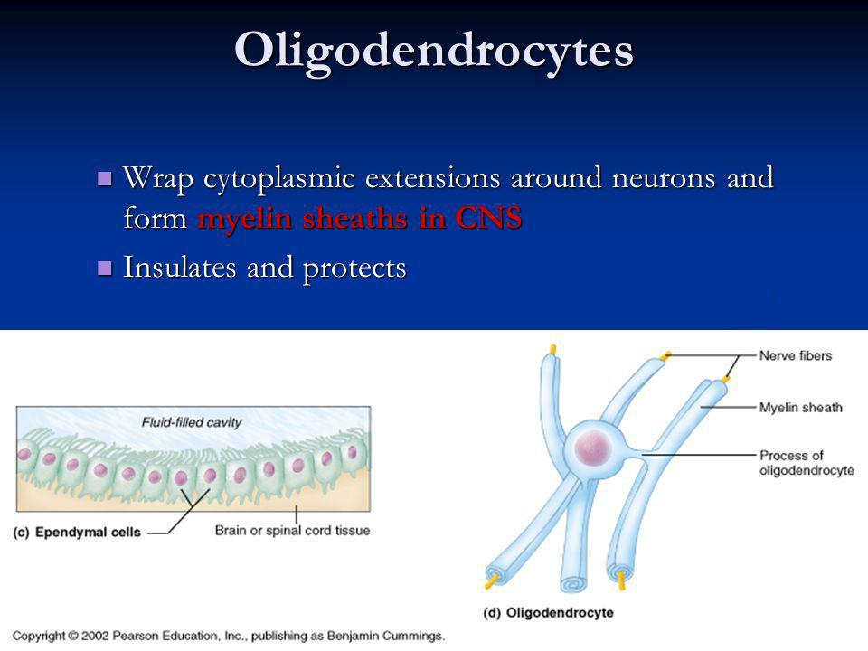 Oligodendrocytes Wrap cytoplasmic extensions around neurons and form myelin sheaths in CNS.