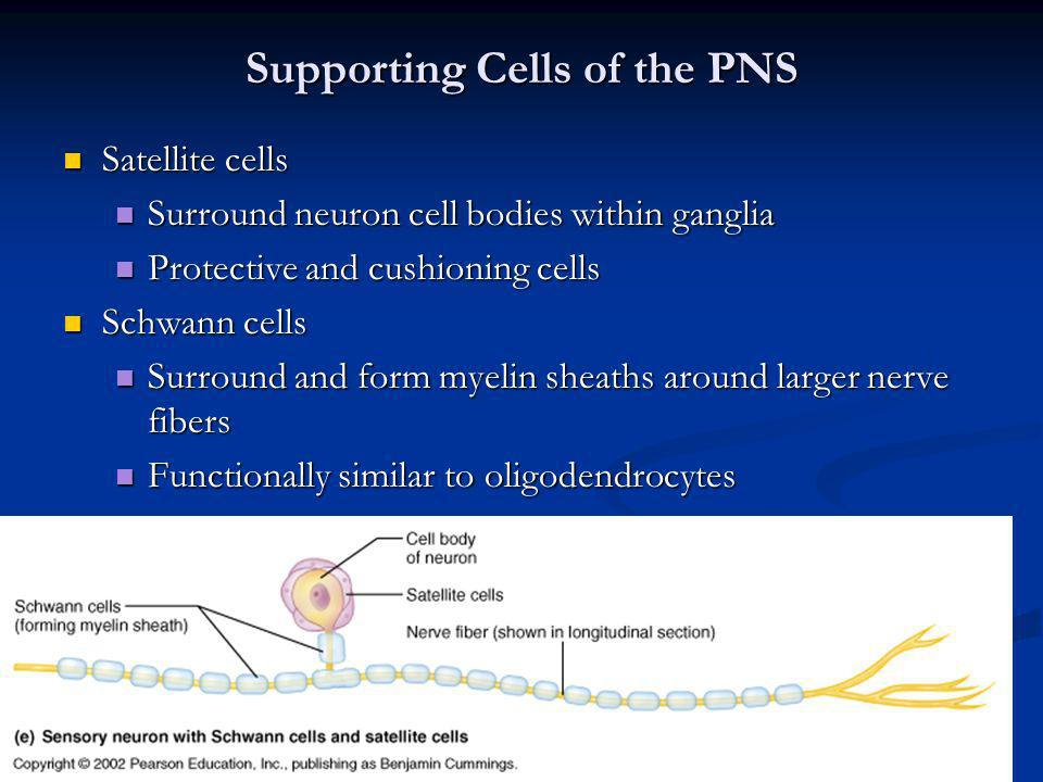Supporting Cells of the PNS