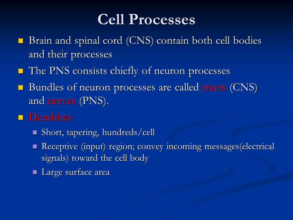 Cell Processes Brain and spinal cord (CNS) contain both cell bodies and their processes. The PNS consists chiefly of neuron processes.