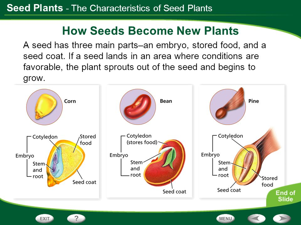 How Seeds Become New Plants