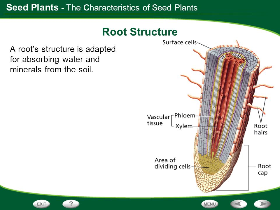 Root Structure - The Characteristics of Seed Plants
