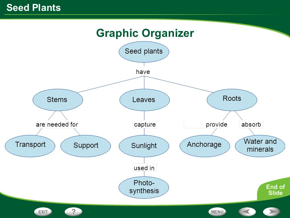 Graphic Organizer Seed plants Stems Leaves Roots Water and minerals