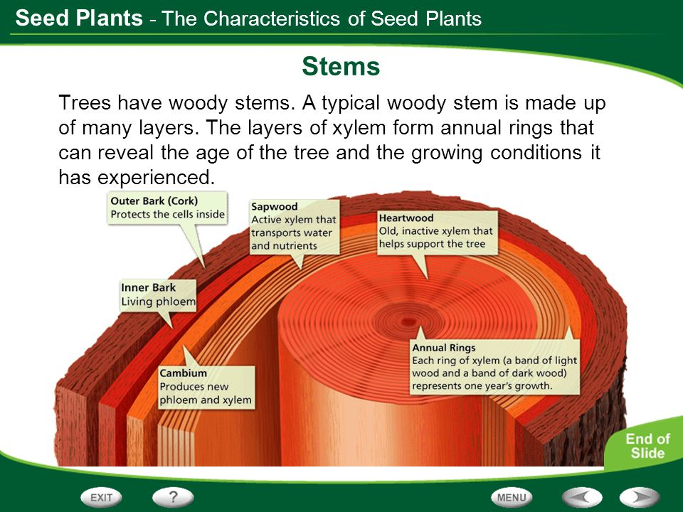 Stems - The Characteristics of Seed Plants