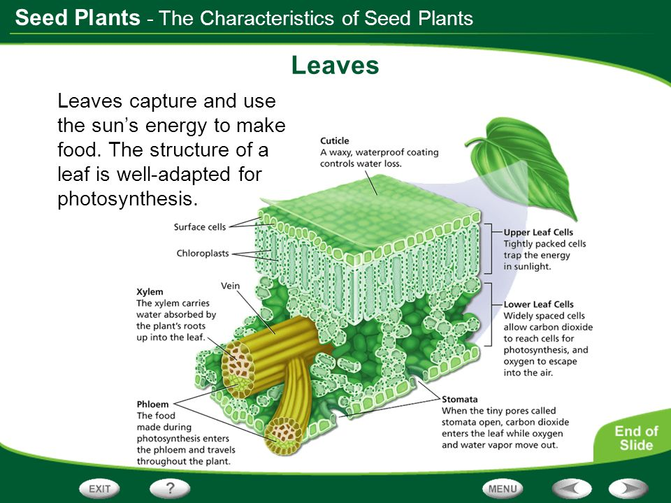 Leaves - The Characteristics of Seed Plants